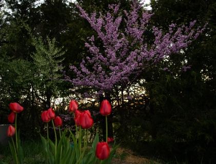 Redbud and Tulips